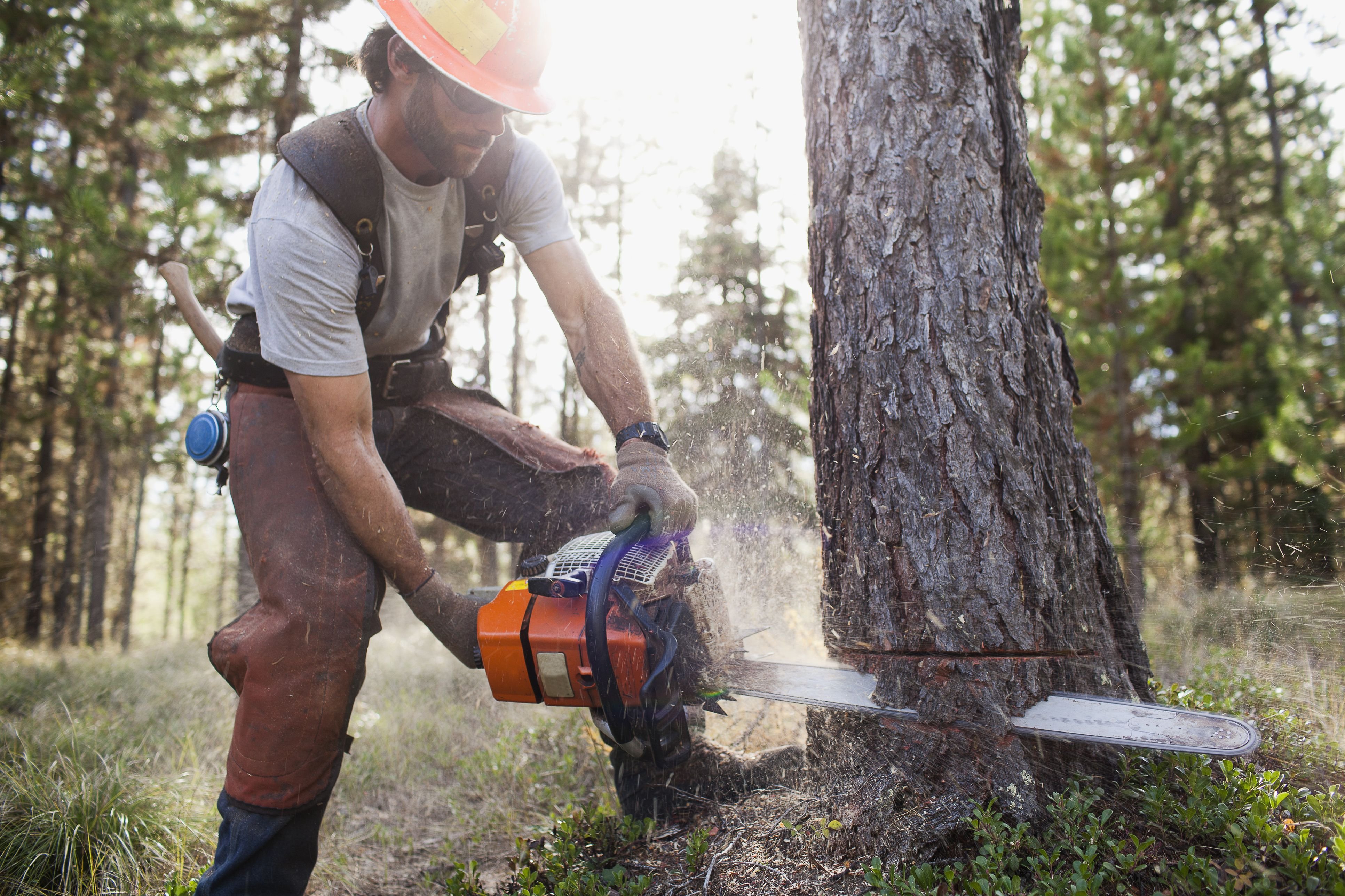 lumberjack felling tree with a chainsaw
