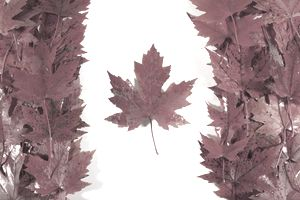 Canadian flag made up of maple leafs