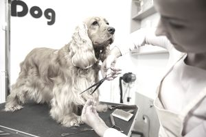 Female groomer trimming Cocker Spaniel at dog grooming salon