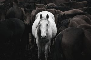 A white horse in a herd of roan horses stands out from the crowd.