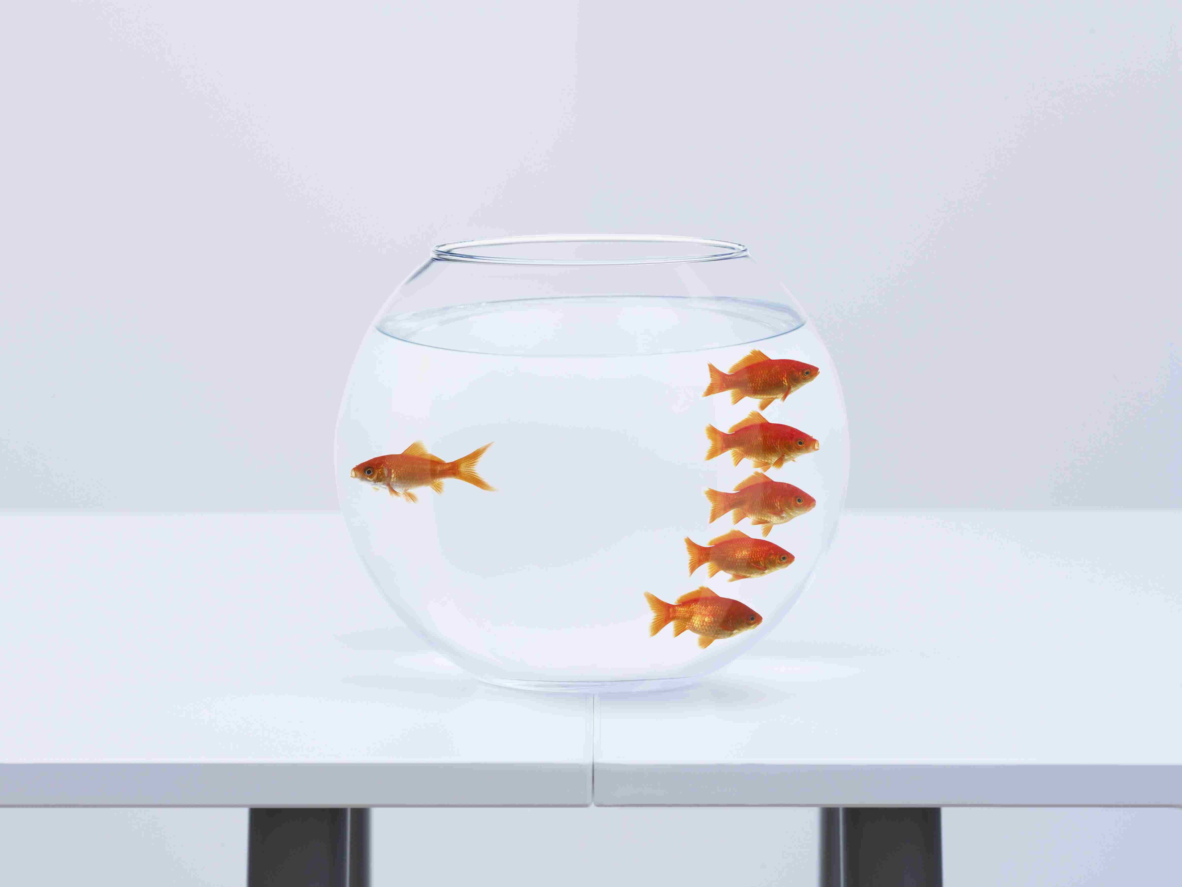 A bowl of goldfish with one fish facing left and five fish facing right.