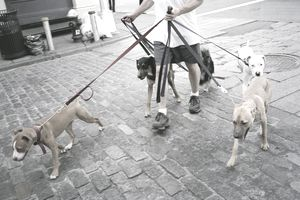 man walking four mid-sized dogs on a cobblestone street