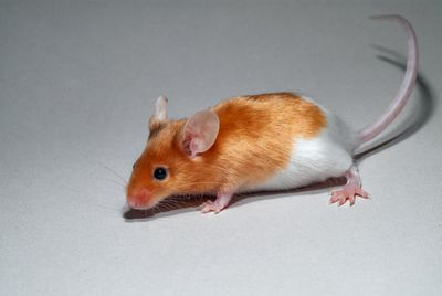 Mus musculus – house mouse