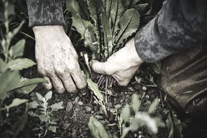 Farmer's hands harvesting greens on farm
