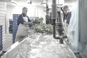 Workers washing herbs in a packing facility