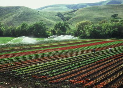 Organic lettuce crop on a farm in the hills of California.