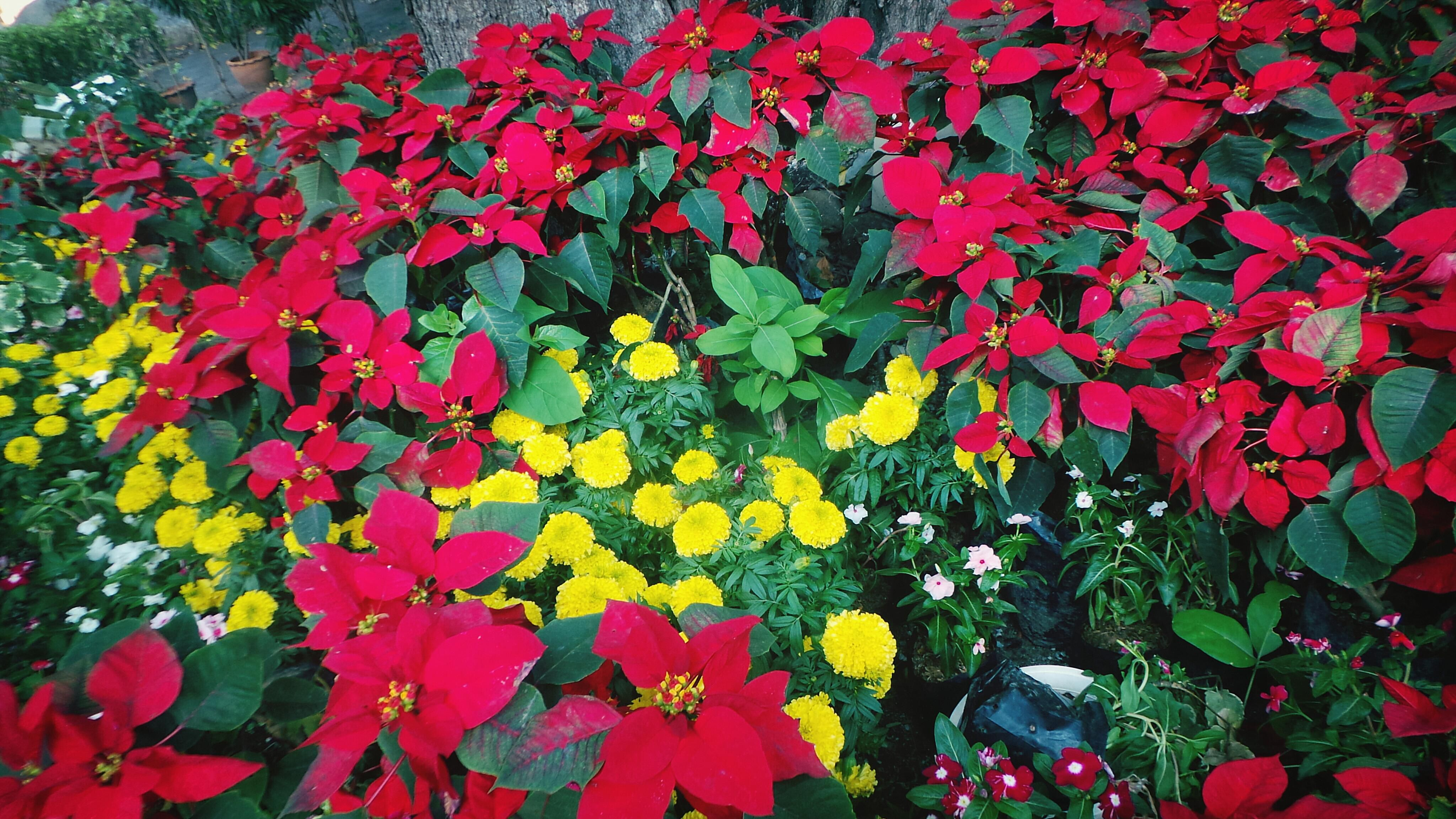 Poinsettias and yellow flowers