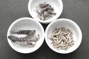 Dried grasshoppers, mealworms and crickets seasoned with spices