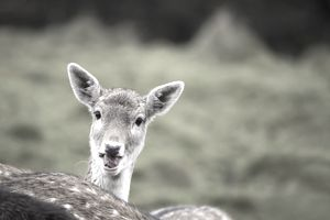 Wild Fallow deer with ears pricked up and tongue twisted. English Peak District