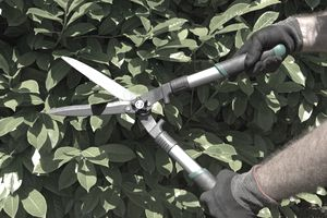 Hands of a male gardener with gloves and garden shears cutting a green hedge