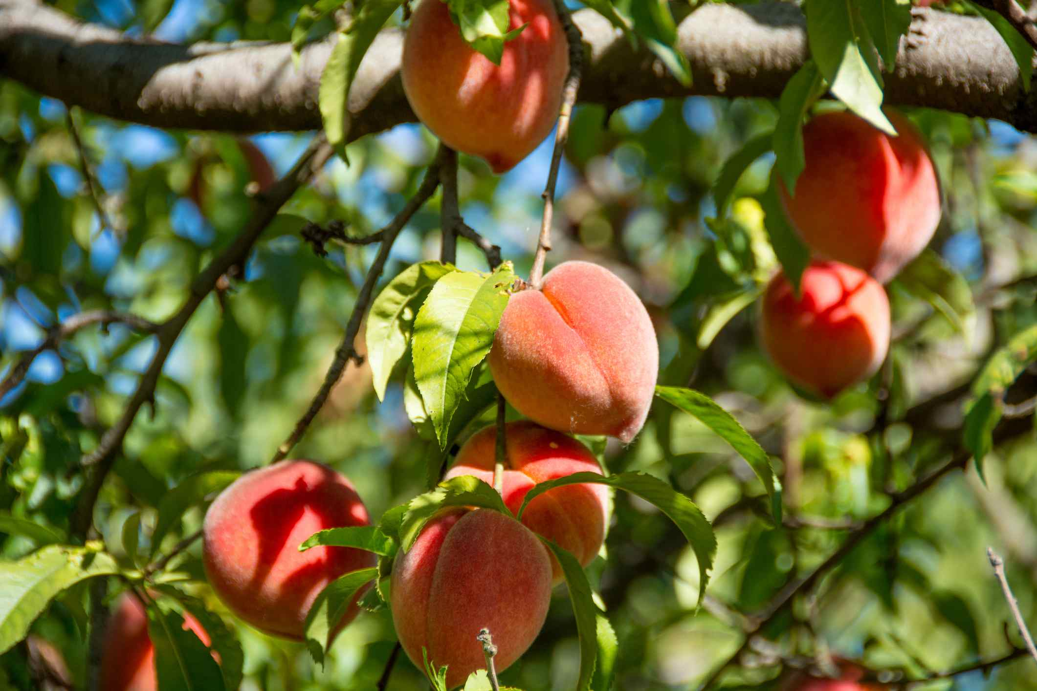 Ripe peaches hang from tree ready for harvest