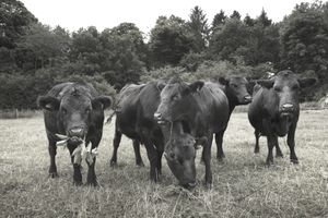 Small herd of Dexter cattle on a pasture