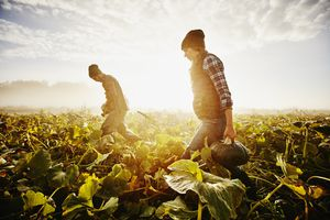 Farmers carrying organic squash during harvest in field on foggy fall morning