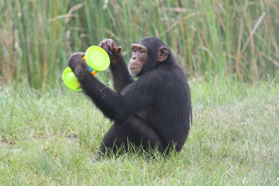 a chimpanzee playing with a toy