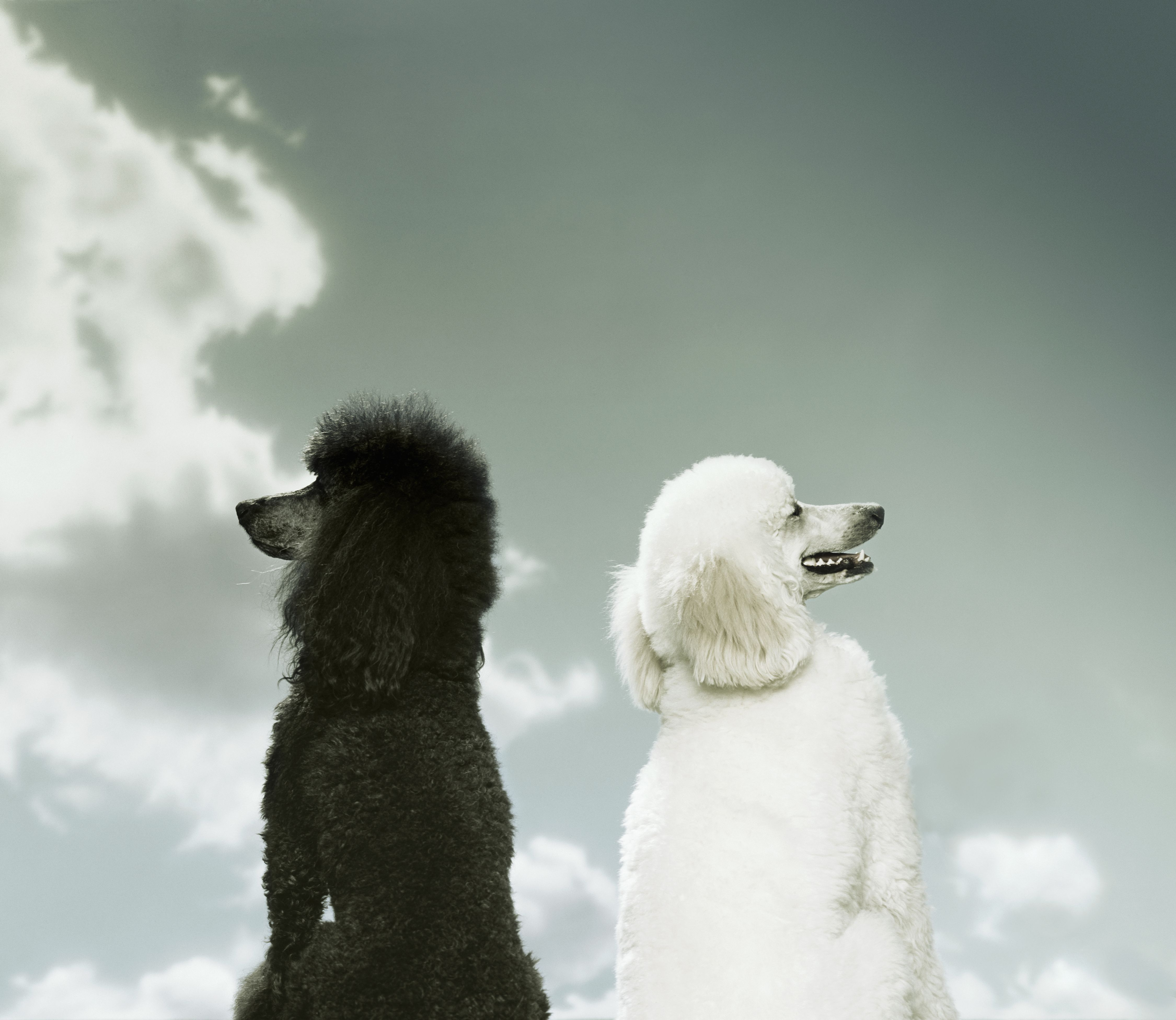 Black and White Poodles Facing Opposite Directions
