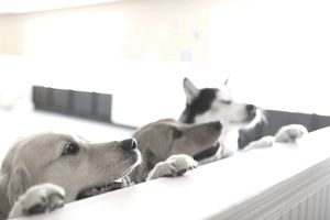 Curious dogs leaning on dog daycare counter