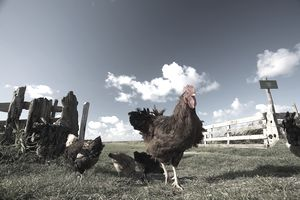 free-range chickens on the farm