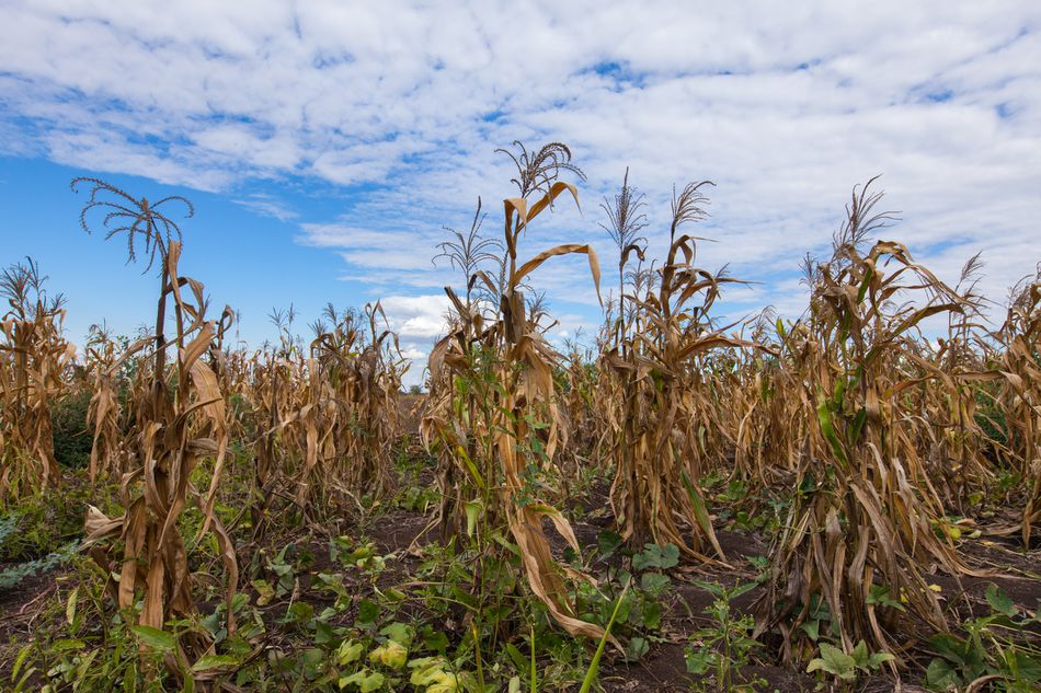 Field of dying maize plants in southern Malawi